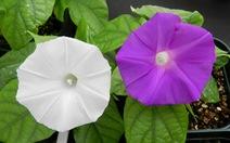 Lần đầu tiên dùng công nghệ chỉnh sửa gene để đổi màu hoa