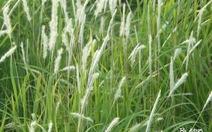 Rễ cỏ tranh hỗ trợ điều trị viêm thận cấp
