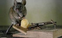 Chuột và bệnh dịch hạch