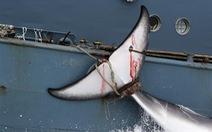 Nhật Bản bị chỉ trích về chiến dịch bắt cá voi ngoài khơi biển Đông