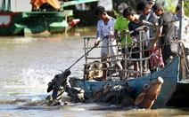 Về An Giang coi chợ bò mùa nước nổi