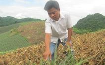 Hàng nghìn mét vuông dứa bị phá, dân trồng dứa hoang mang