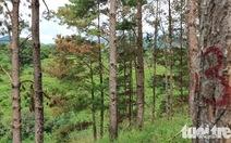 151 cây thông rừng Đà Lạt bị 'đầu độc' bằng thuốc diệt cỏ