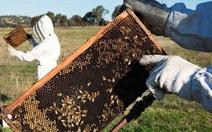 75% mật ong được lấy mẫu trên thế giới bị nhiễm thuốc trừ sâu