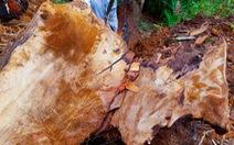Cục Kiểm lâm vào cuộc sau loạt bài phá rừng của Tuổi Trẻ