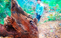 Tan nát rừng đầu nguồn - Kỳ 2: Tận diệt pơmu