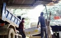 Tan nát rừng phòng hộ - Kỳ cuối: Đường đi của pơmu
