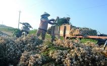 Có nên trồng tỏi voi Nhật Bản ở Lý Sơn?