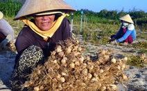Lãnh đạo Quảng Ngãi nói dân tự quyết việc hợp tác trồng tỏi