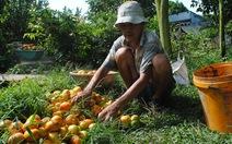 Nhiều vườn quýt hồng Lai Vung héo rũ, giảm mạnh lượng trái