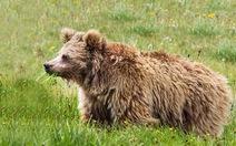 Người tuyết, người rừng chỉ là... gấu lớn