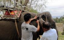 Gắn chíp để quản lý đàn voi nhà Đắk Lắk