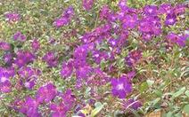 Thưởng lãm quần thể hoa Mua trên đồi Robin - Đà Lạt