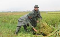250 chiến sĩ trẻ xuống đồng gặt lúa giúp dân chạy lụt