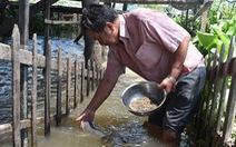 Lão nông Miền Tây dụ 10 tấn cá vào... ngắm như 'thú cưng'