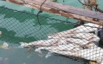 20 tấn cá lồng bè trên vịnh Lan Hạ chết hàng loạt