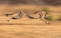 'Vua' săn mồi đáng sợ nhất trên mặt đất