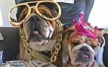 Chú chó Roscoe của Hamilton kiếm 700 USD mỗi ngày