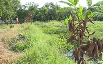 Điều tra vụ đổ dầu hỏa vườn chôm chôm chết hàng loạt