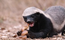 Loài động vật nào 'không sợ ai', kể cả báo, rắn độc?