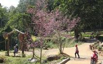 Sau thử nghiệm, Đà Lạt trồng đồi hoa anh đào Nhật Bản