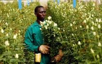 Nông dân Kenya dùng điện thoại kiểm tra hạt giống giả