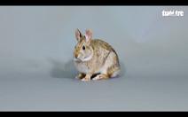 Hãy bảo vệ loài thỏ này trước nguy cơ bị tuyệt chủng