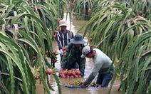 'Thủ phủ' thanh long Bình Thuận ngập nặng