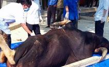 Phát hiện xác bò tót đực nặng 700kg trong khu bảo tồn