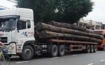 """Lập biên bản xử phạt hai xe chở cây gỗ """"khủng"""" quá khổ"""