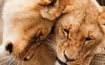 Nam Phi tính cách chấm dứt cho phép săn bắn sư tử