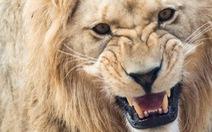 6 người Việt bị bắt giữ tại Nam Phi vì tính nấu cao sư tử