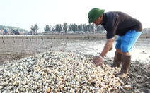 Dân Nghệ An hoang mang khi hàng trăm tấn ngao chết trắng đầm