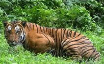 Con hổ giết 13 người ở Ấn Độ bị bắn chết