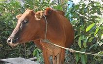 Cấp bò lở mồm long móng cho dân nghèo