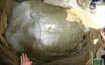 Nghiên cứu kế hoạch ghép đôi sinh sản cho rùa Hoàn Kiếm