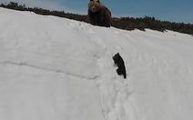 Clip gấu con nỗ lực trèo lên vách núi tuyết gây sốt