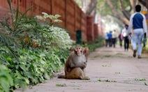 """Đàn khỉ hàng nghìn con """"xâm chiếm"""" Ấn Độ"""