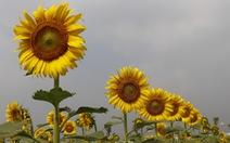 Cuối tuần đi chụp ảnh vườn hoa hướng dương ở TP.HCM