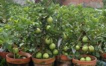 Đi Co.opmart mua cây ổi có trái giá chỉ 50.000đồng/cây.