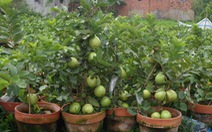 Triển lãm giống ổi có trái giá chỉ 50.000đồng/cây.