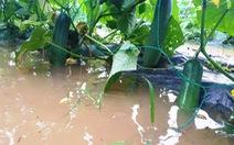 Mưa lớn ngập úng rau vụ tết, nông dân Quảng Nam thấp thỏm
