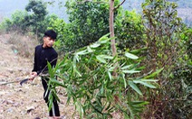 Theo chân người Tày vào rừng lấy cây nêu đón Tết