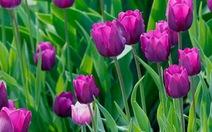 Trồng thành công hoa tulip tại miền núi Quảng Trị
