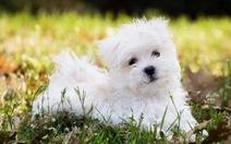 'Tan chảy' với những giống chó cưng ở Mỹ