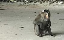 Chú khỉ đuôi lợn kiểm lâm trị không nổi đã bị chó cắn chết