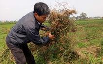 Nghi án phun thuốc diệt cỏ hủy hoại ruộng ớt của nông dân