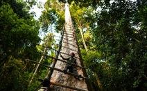 Săn mật ong trên những ngọn cây chọc trời ở Malaysia