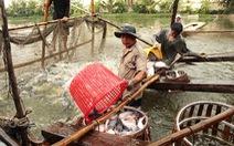 Nhìn cá tra xuất khẩu nhiều sang Trung Quốc mà lo