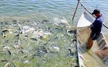 Chịu thuế 7,74 USD một ký, cá tra nguy cơ mất thị trường Mỹ